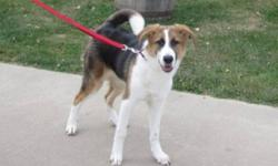 Breed: Collie Great Pyrenees   Age: Young   Sex: F   Size: M Calla recently arrived in rescue after she was surrendered to the pound by her owners. She looks very similar to three puppies we had in rescue which we were told were Collie/St. Bernard blends,