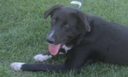 Breed: Collie Labrador Retriever   Age: Young   Sex: F   Size: M Eli is one of 7 puppies born in an unwanted litter born back in February. Over time, homes were found for six of the puppies, and in the end one puppy remained - Eli. As he was not going to
