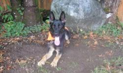 Breed: German Shepherd Dog   Age: Young   Sex: F   Size: M Primary Color: Black Secondary Color: Tan Weight: 28.6 Age: 1yrs 0mths 0wks   View this pet on Petfinder.com Contact: BC SPCA - Maple Ridge Branch | Maple Ridge, BC