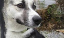 Breed: Husky Whippet   Age: Young   Sex: F   Size: S This cutie is little India. She was found running around the Sand Pits all by herself. India is about 1 1/2 years old, is up to date on vaccines and will be spayed soon. She is a little fire cracker,