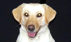 Breed: Labrador Retriever   Age: Young   Sex: F   Size: L Please meet Candy, a precious girl who is just as sweet as her name! She is friendly, funny, quirky and just plain adorable. She will need some basic obedience training so she can be the best