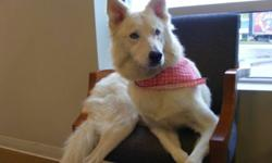 Breed: Husky   Age: Young   Sex: F   Size: L Shasta is a lovely 1.5 year old female husky mix. She is very well behaved and has a solid foundation of basic obedience training. Her only vice is that in her previous home she chased cars but with some