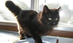 Breed: Domestic Long Hair-black   Age: Young   Sex: M   Size: M Ebony was born about April 15th, 2011. He is a very sweet cat and has beautiful smokey black colouring. The adoption fee is $70.00. If you want to adopt two cats the fee is $100.00 for both.
