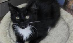 Breed: Domestic Medium Hair   Age: Young   Sex: M   Size: M +++ Available for adoption at Bosley's Terra Nova. Call 604-276-0083 +++ My name is Scrabble! I was found with my mom and siblings 6 months ago in Williams Lake and taken to the SPCA in hopes the
