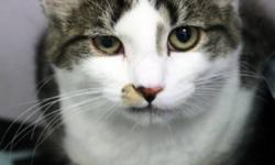 Breed: Domestic Medium Hair   Age: Young   Sex: M   Size: M This beautiful, green-eyed boy is Spence. Transferred in from the Queen's SPCA, he can still be a bit timid since he is adjusting to a new place. He has a beautiful, soft coat and a unique
