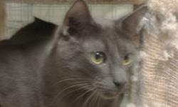 Breed: Domestic Short Hair-gray   Age: Young   Sex: M   Size: L Although I have been at the Fraser Valley Humane Society for a long time, I am still rather shy of people. If you are patient, I'll let you pet me or I may even jump on your lap - treats work