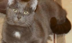 Breed: Domestic Short Hair-gray   Age: Young   Sex: M   Size: M Neutered, Vaccinated, DOB January 1, 2010. Draper is a very handsome boy who is all grey, except for a manly little white spot on this chest. Draper loves to rub his head against your hands