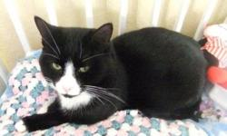 Breed: Domestic Short Hair-black and white   Age: Young   Sex: M   Size: M DOB. December 2008 A handsome gentle boy, with a lovely personality. He is a real tuxedo cat with shining silky fur. He gets along well with other cats, and is very clean and quiet