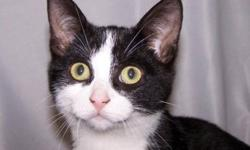 Breed: Domestic Short Hair-black and white   Age: Young   Sex: M   Size: M This cute little guy is Nate and isn't he just adorable with his tuxedo markings? He is a real sweetie and would like nothing better than to be curled up at your feet, or better