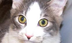 Breed: Domestic Short Hair - gray and white   Age: Young   Sex: M   Size: M This handsome fella is Garth and he has been in the shelter since he was a kitten. Garth is a sort of an ugly ducking turned swan story as he wasn't the cutest of kittens which is