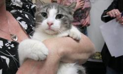 Breed: Domestic Short Hair - gray and white   Age: Young   Sex: M   Size: M Keiron was rescued f rom a colony. All his siblings and the other cats were trapped, sterilized and returned to the colony. Keiron was much tamer than most. He loves to cuddle but