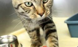 Breed: Domestic Short Hair Tabby   Age: Young   Sex: M   Size: L Lincoln is one seriously handsome boy! Aside from his dashing good looks, he has a superb personality: he is friendly and curious as well as calm and confident. Classic tabbies have their