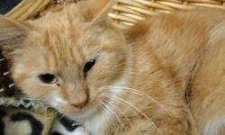 Breed: Domestic Short Hair - orange and white   Age: Young   Sex: M   Size: M Mr. Hidey came to us in pretty rough shape. He's been recuperating for several months under the care of volunteers with PET Projects. He's ready to start looking for a loving