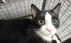 Breed: Domestic Short Hair   Age: Young   Sex: M   Size: M Primary Color: Black Secondary Color: White Age: 0yrs 7mths 3wks Animal has been Neutered   View this pet on Petfinder.com Contact: Regina Humane Society | Regina, SK