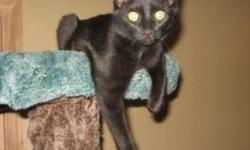 Breed: Domestic Short Hair-black   Age: Young   Sex: M   Size: M Spartan is a bit of a shy boy at the shelter, but he gets along extremely well with the other cats, especially his buddies Pepsi and Dr. Pepper. He can often been seen hanging out in front