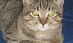 Breed: Domestic Short Hair   Age: Young   Sex: M   Size: M Primary Color: Tabby Age: 1yrs 5mths 0wks Animal has been Neutered   View this pet on Petfinder.com Contact: BC SPCA (Shuswap Branch)   Salmon Arm, BC