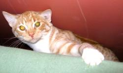 Breed: Domestic Short Hair   Age: Young   Sex: M   Size: M Waffles is a dark orange color, he is a friendly boy who wants to play all the time! There is never a dull moment with this little guy around!   View this pet on Petfinder.com Contact: Craig