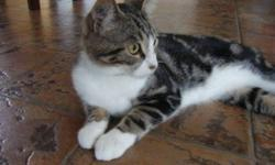 """Breed: Tabby   Age: Young   Sex: M   Size: M Owen is new to rescue and after a couple of days to settle into his new surroundings, and he has proven to be a very independant cat! His foster mom says he likes to walk around """"talking to himself"""" - he makes"""