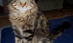 Breed: Tabby - Brown Domestic Long Hair   Age: Young   Sex: M   Size: M Farley is a beautiful long-hair tabby with a gorgeous pluming tale almost as long again as he is. He was raised outdoors by a mom who was just a baby herself, but her devotion to her
