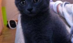 Breed: Tabby - Grey   Age: Young   Sex: M   Size: M This is Koda, 10week male, grey tabby. Ready to adopt.   View this pet on Petfinder.com Contact: Antigonish Branch SPCA | Antigonish, NS