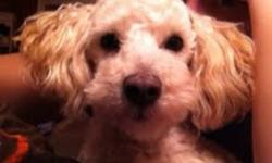 Breed: Poodle   Age: Young   Sex: M   Size: S Hello my name is Avie .I am a really great dog but some poeple I just do not like.I am very smart and love to be spolit but please dont spoil me too much because then I become naughty.I really am the cutest