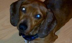 Breed: Dachshund   Age: Young   Sex: M   Size: S ADOPTION FEE APPLIES Age: Approximately 1 year old Sex: Male Weight: About 11 pounds Breed: Dachshund Foster Home Location: Peterborough, ON Adoption Fee: $375 Temperament: Friendly, loves all people Dogs: