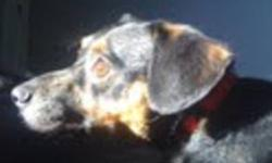 Breed: Dachshund   Age: Young   Sex: M   Size: S Howdy ,my name is Henry I am a very calm fellow and I love to follow you around .Do you have blankets ? Well you will need many becuase I LOVE TO SNUGGLE in them .....I know what your thinking ...would I