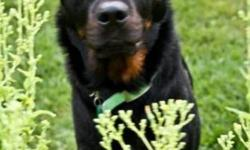 Breed: Rottweiler   Age: Young   Sex: M   Size: M This sweet dog came to us malnourished and abandoned. He's recovering but is still a good boy. More to come soon!         For more information please visit: http://www.kingstonanimalrescue.com To Adopt: