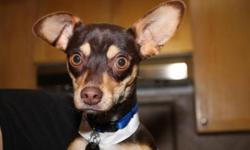 Breed: Chihuahua   Age: Young   Sex: M   Size: S Poncho is a one year old neutered male Chihuahua, and he is a happy little fella! He loves people, and greets strangers with a wag of his tail. This is amzing considering he was thrown from a moving car,