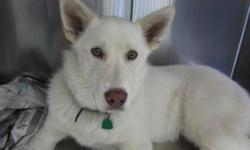 Breed: Husky   Age: Young   Sex: M   Size: M Meet Ranger, an 8 month old Husky mix. Ranger is a nice guy, who is full of love and energy. This med sized man likes other dogs, kids and is a prime candidate for a running partner, agility training or a sking