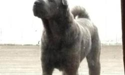 Breed: Shar Pei   Age: Young   Sex: M   Size: L Blue is a very handsome, rather tall, larger Shar-pei who is in need of a new and experienced home. He loves kids, has been out for walks with other dogs and is dying to be a full time companion to an