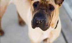 Breed: Shar Pei   Age: Young   Sex: M   Size: M Update:   Tyson has lost his leg due to an injury that was not tended to in his previous home. He is ready for a foster to adopt home where he can learn to be a three-legged dog in the comfort of a home. He