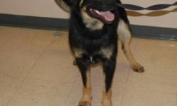 """Breed: Shepherd Rottweiler   Age: Young   Sex: M   Size: M I'M A BALL OF ENERGY - I am very energetic and am looking for an owner who wants to get up and move. """"Action"""" is my middle name. I need someon to get outside and keep me entertained. Run with me,"""
