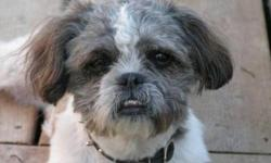Breed: Shih Tzu   Age: Young   Sex: M   Size: S If you've been looking for an affectionate little dog, look no further. Gizmo is a thoroughly delightful fellow born around October 2010 who will provide a lifetime of cuddles and smiles to whoever is