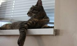 Hi, I have a 8 months old, young tabby male cat really lovely and lively.   He likes to get along with people, he also loves to be loved and touched.     Due to my urgency, I want to get him a new good home and   a better owner who is willing to give him