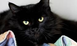 We're pleased to introduce this beautiful all-black beauty named Zena. It's hard to describe this cat's beauty, either in words or by way of photographs. This five-year-old female cat was found in a small Halifax apartment where she was part of a