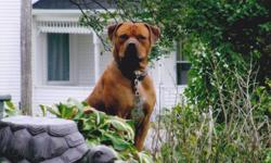 BEAUTIFUL 3 year old American Staff (Bulldog Bread)   Zeus has a family who loves him with all there heart but as life has it there is unforsene currcomstances that happen in life that turns ones life around as things are now for zeus and his fun loving